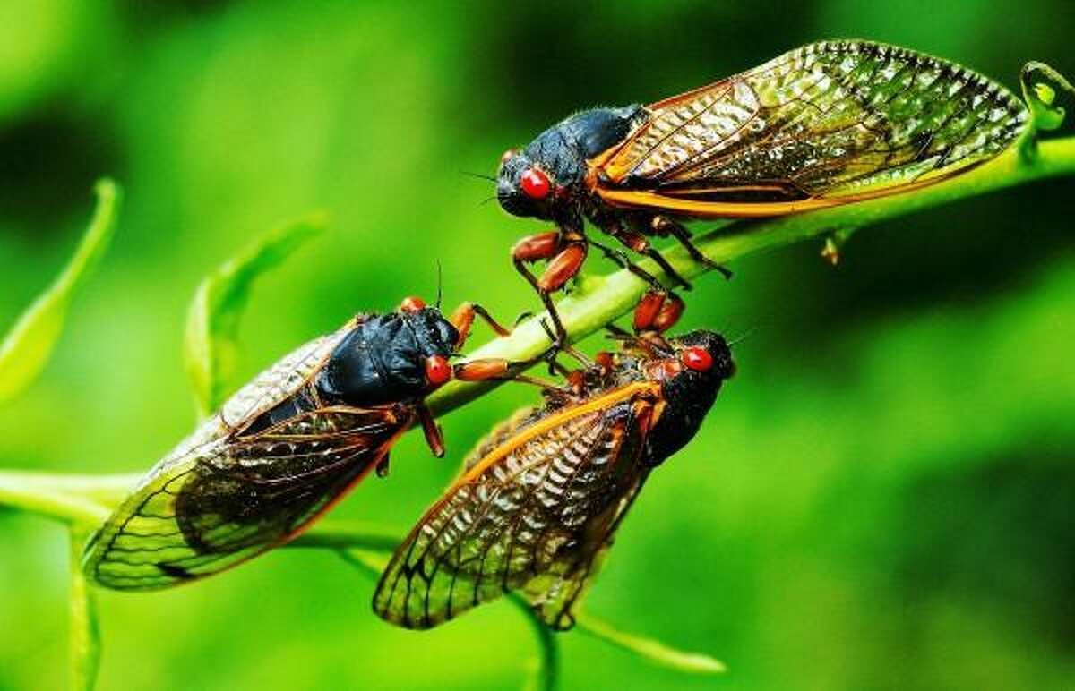 Peter Casolino/New Haven Register June 18, 2013. Three Cicadas gather together on a branch along Driftwood Lane in North Branford, where a colony of Millions of the insects emerged from their 17-year slumber to mate and start the cycle over again. pcasolino@newhavenregister.com