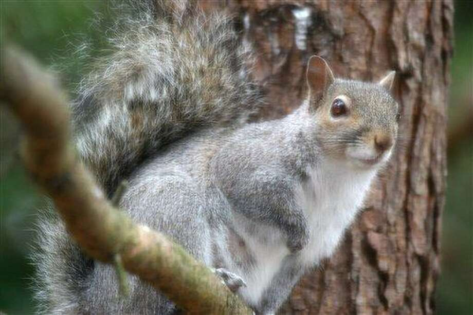 Associated Press file photo: It's the season of love for squirrels. Photo: ASSOCIATED PRESS / AP2005