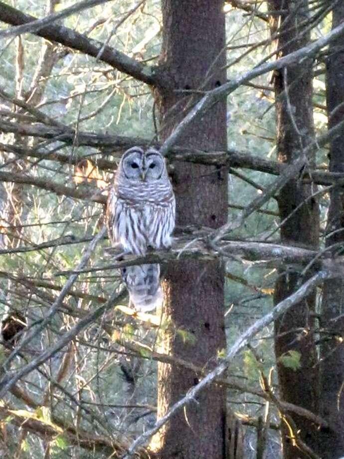 Kathleen Kudlinski: Barred owl