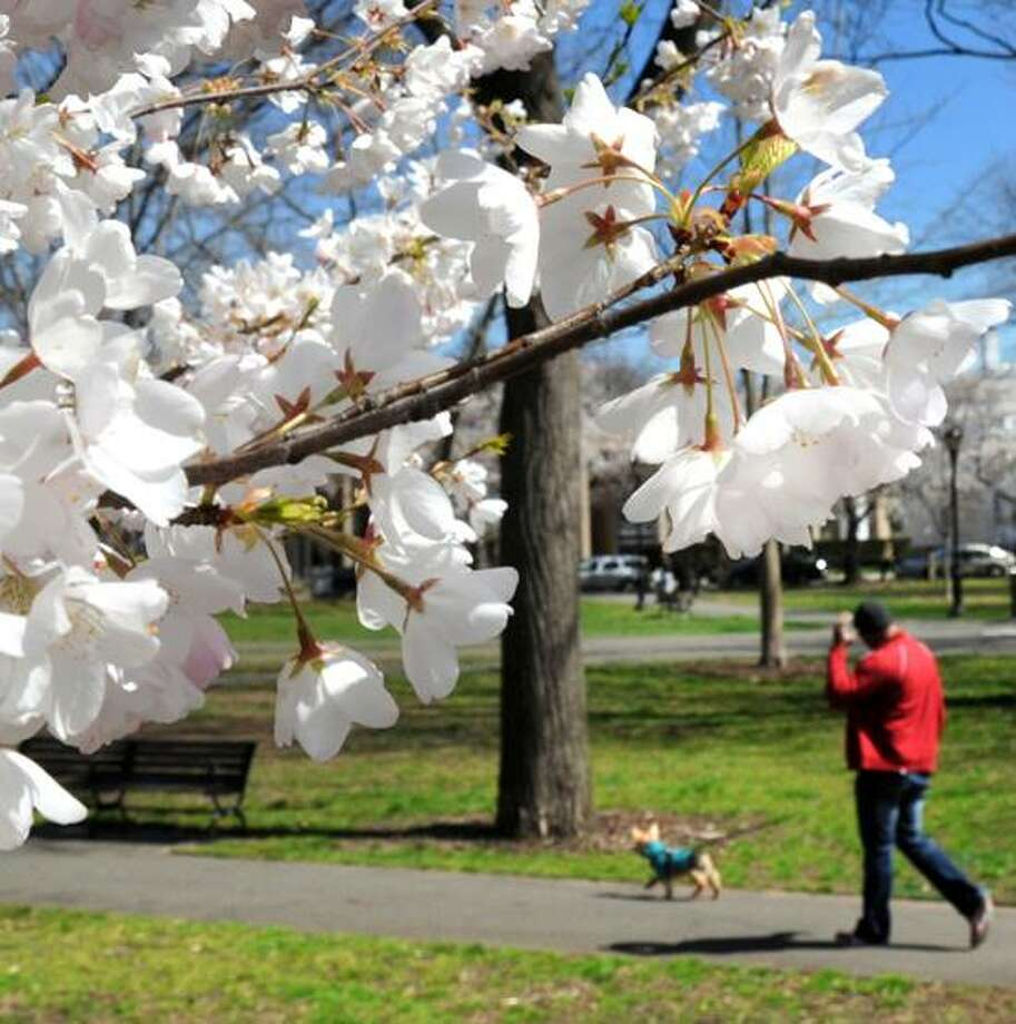 VM Williams/tRegister file photo: The Wooster Square Cherry Blossom Festival is from noon to 5 p.m. April 14 in New Haven.