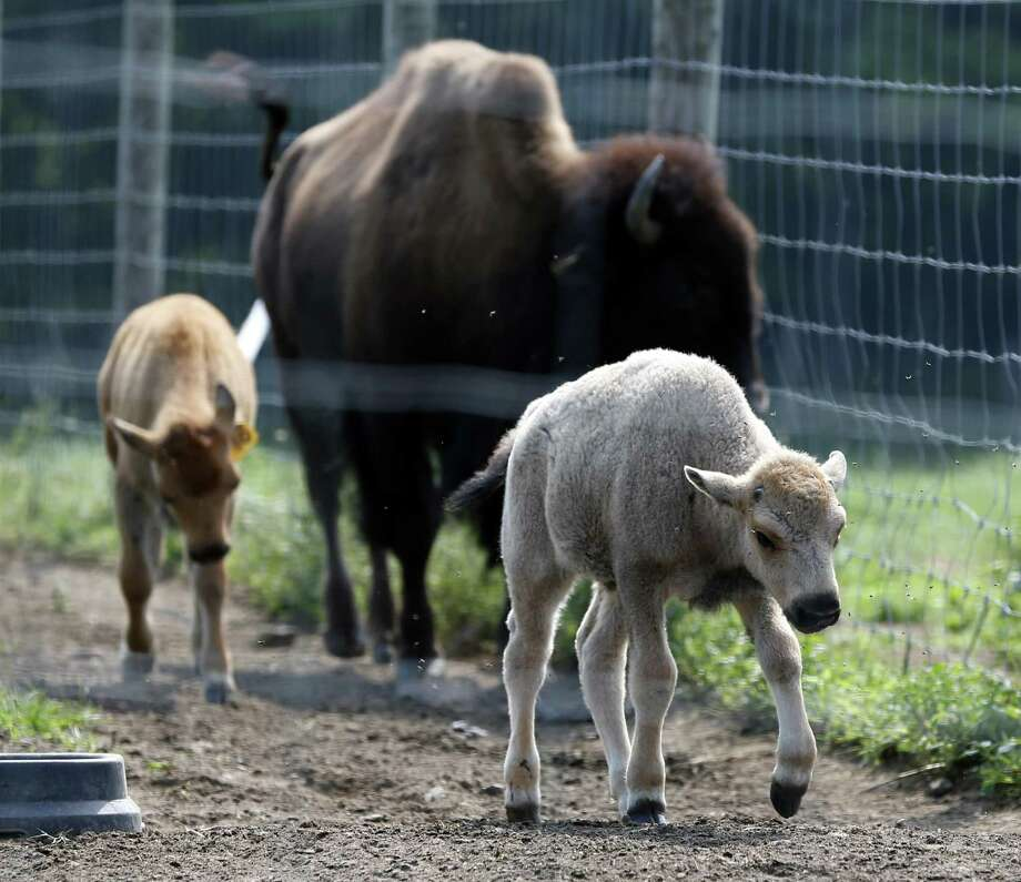 In this July 18, 2012 file photo, a white bison calf, front, walks in a field with other bison at the Mohawk Bison farm in Goshen, Conn., on Wednesday, July 18, 2012. As his one-year birthday approaches on June 16, 2013, the white bison's coat has now turned brown.  (AP Photo/Mike Groll, File) Photo: AP / AP