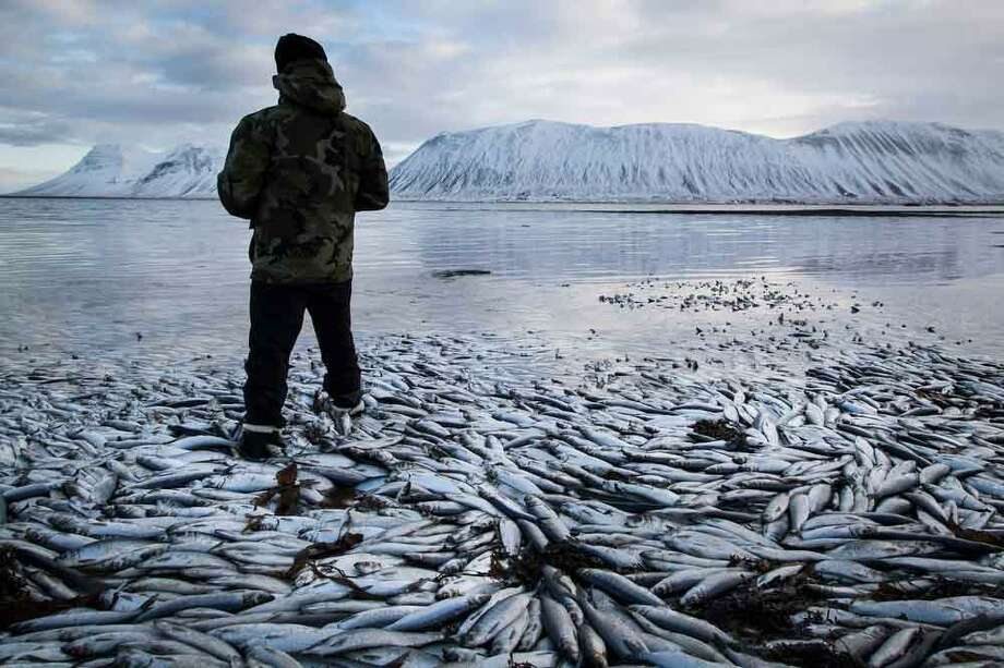 Herring worth  billions in exports are seen floating dead Tuesday Feb. 5 2013 in Kolgrafafjordur, a small fjord on the northern part of Snaefellsnes peninsula, west Iceland, for the second time in two months. Between 25,000 and 30,000 tons of herring died in December and more now, due to lack of oxygen in the fjord thought to have been caused by a landfill and bridge constructed across the fjord in December 2004. The current export value of  the estimated 10,000 tons of herring amounts to ISK 1.25 billion ($ 9.8 million, euro 7.2 million), according to Morgunbladid newspaper. (AP Photo/Brynjar Gauti) Photo: ASSOCIATED PRESS / AP2013