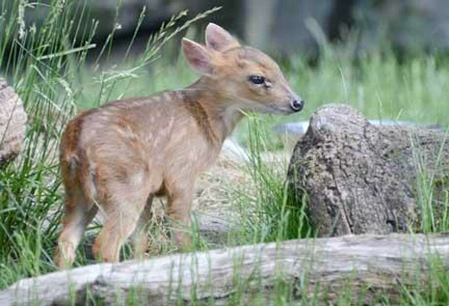 Rosamond Gifford Zoo photo by Terri Redhead The Chinese 4-week-old muntjac fawn.
