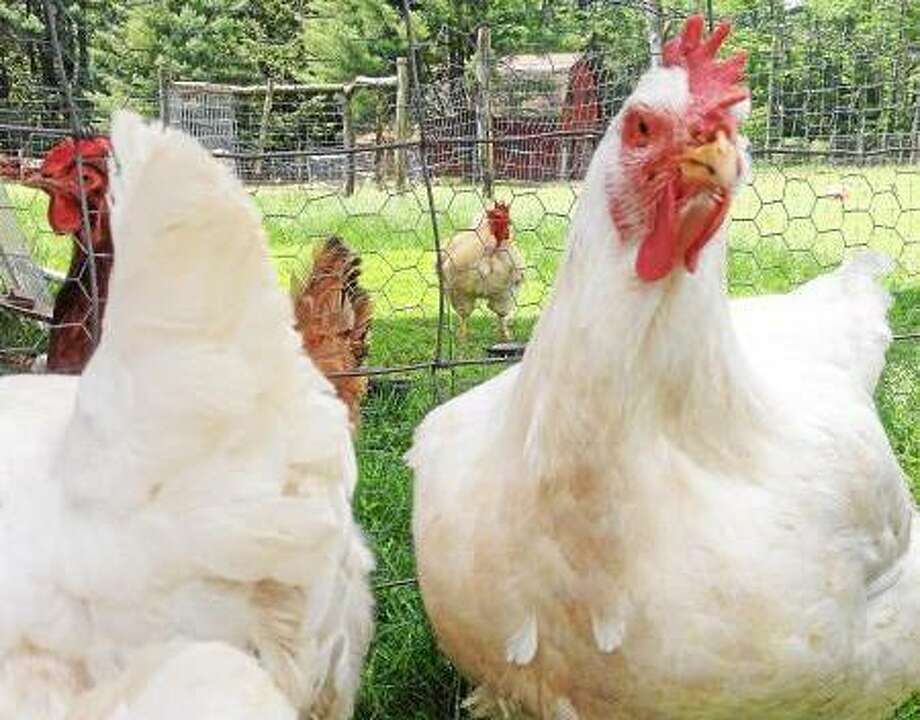 These chickens were rescued from a factory farm and now live at the Woodstock Farm Animal Sanctuary in Willow, N.Y. (John Berry--Register Citizen)