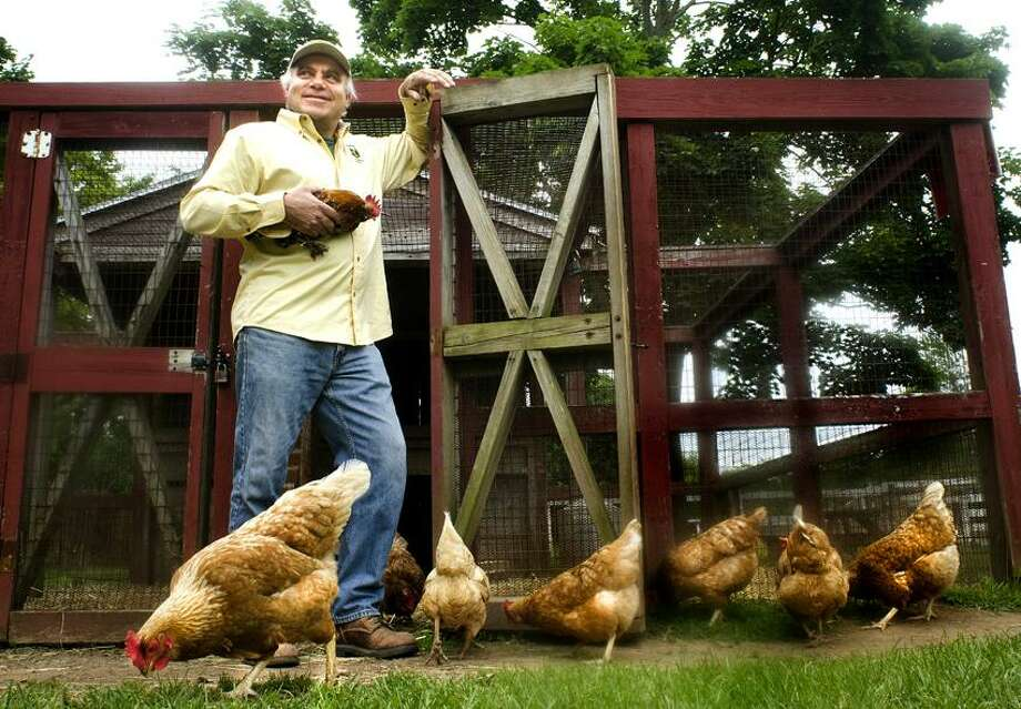Hamden_Ranger Vinnie Lavorgna, of Broolkesdale Park, with a rooster that he is trying to introduce to the hens.    Melanie Stengel/Register