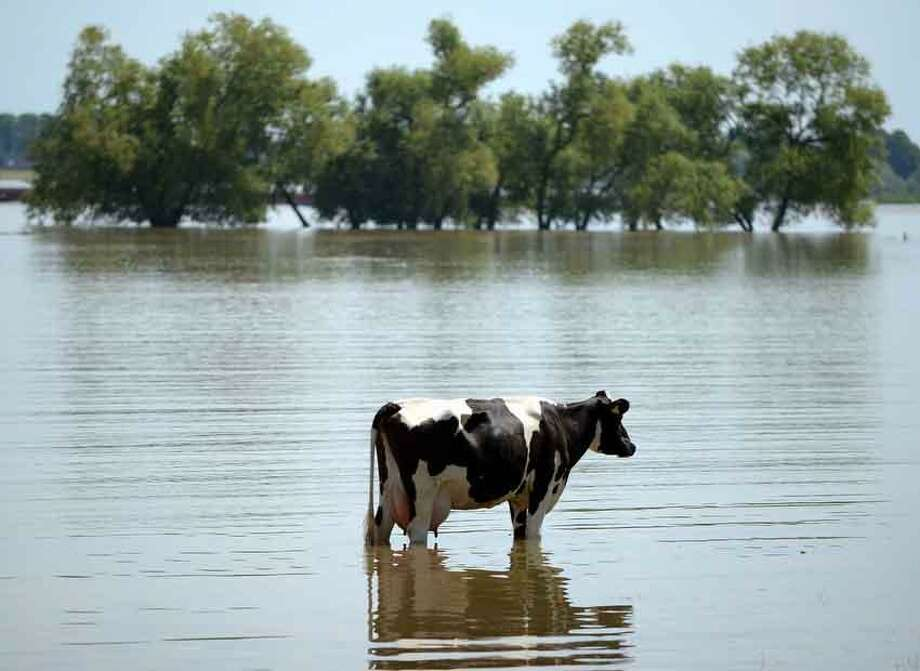 A cow stands on a meadow, which has been flooded by river  Rhine, in Xanten,  western Germany,  Wednesday June 5, 2013. Heavy rainfalls caused flooding in parts of Germany, Austria and Czech Republic. (AP Photo/dpa, Federico Gambarini) Photo: ASSOCIATED PRESS / .2013