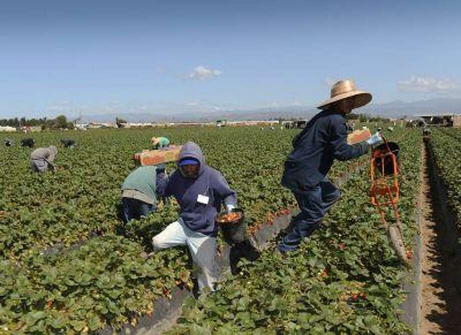 Field workers pick strawberries in Oxnard, Calif., April 16, 2013. In California, laborers from Mexico and Central America help make it the No. 1 farm state, with more than $43 billion in cash receipts in 2011. Photo: REUTERS / X02203