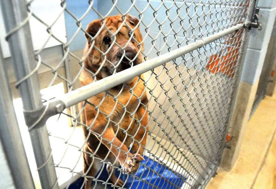 """Wei is a Shar-Pei who has been waiting at the New Haven Animal Shelter for an adoptive family.  Mara Lavitt/New Haven Register <a href=""""mailto:mlavitt@newhavenregister.com"""">mlavitt@newhavenregister.com</a>5/29/13"""