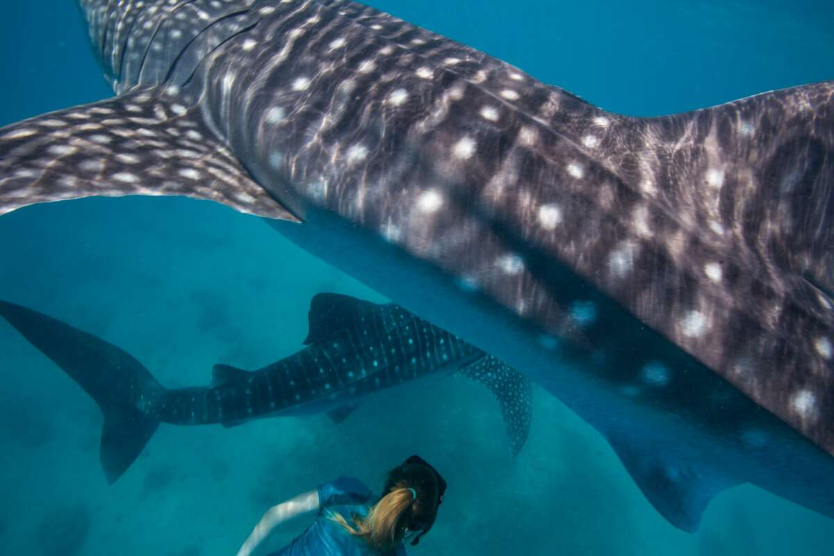 Whale sharkThis massive shark is the largest known species of fish and it is also one of the safest to swim with. Instead of a diet full of large fish, these gentle giants eat plankton and other small fish and are generally indifferent toward divers.