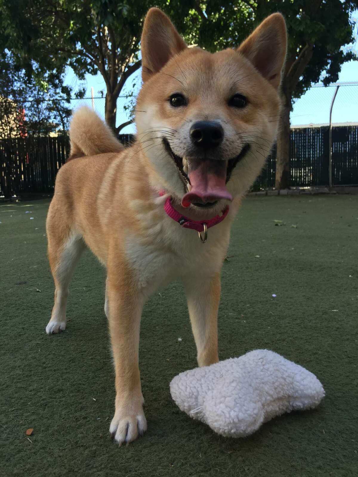 The owner of this Shiba Inu has been sentenced to probation for graphic animal abuse that was caught on an elevator camera. Aniki is now being cared for at Northern Nevada Shiba Rescue, where the staff will work to find a permanent home for him.