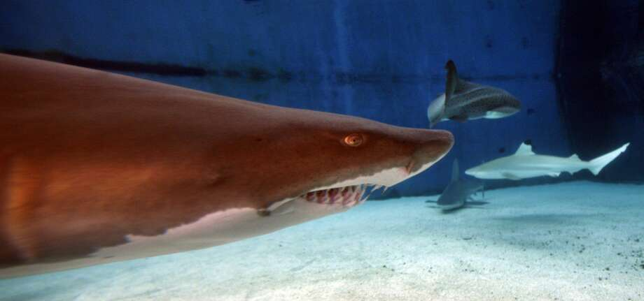An underwater view of a Sand Tiger Shark with its teeth showing in Shark Lagoon at the Aquarium of the Pacific in Long Beach. Click through the gallery for a roundup of the deadliest sharks. Photo: Allen J. Schaben/LA Times Via Getty Images, Getty Images