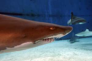 An underwater view of a Sand Tiger Shark with it's teeth showing, as it swims amid a variety of sharks in Shark Lagoon at the Aquarium of the Pacific in Long Beach.  (Photo by Allen J. Schaben/Los Angeles Times via Getty Images)