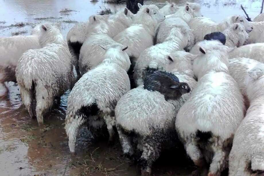 Three wild rabbits escaped rising floodwaters by climbing onto the backs of some sheep on a farm near Dunedin, New Zealand.  Photo: Ferg Horne, HONS / Ferg Horne