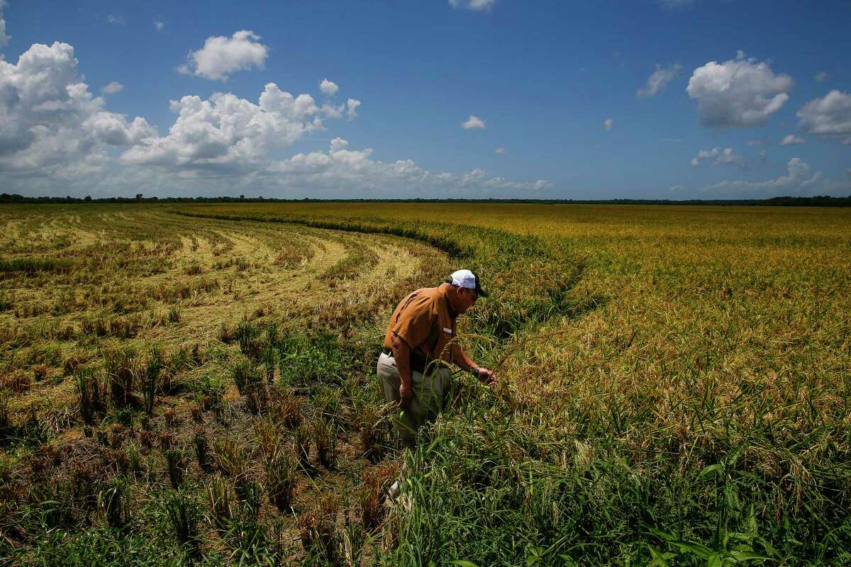 Rice farmer Ray Stoesser, one of the biggest rice farmers in Texas, looks at his crop Wednesday, July 26, 2017 in Raywood. Stoesser helped push for a recent deal to allow U.S. rice exports to China.