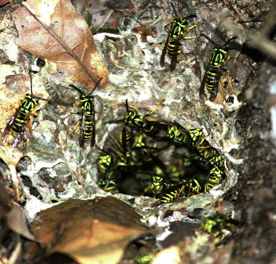 Disturbing an underground colony of yellow jackets, which can hold thousands of the aggressive, short-tempered, stinger-equipped insects, can be a painful and even life-threatening experience for those working outdoors. Photo: Shannon Tompkins
