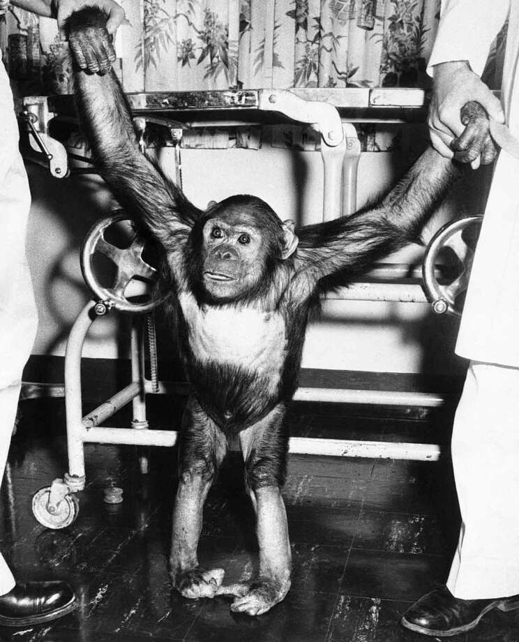 America's earth-orbiting chimpanzee, gets a pair of helping hands as he tries out his land legs at Kindley Air Force Base in Bermuda, Nov. 30, 1961. Enos was brought to the base on a destroyer after recovery of the capsule in which he was orbited around the earth two times . He is scheduled to be flown back to Cape Canaveral December 1. (AP Photo/John Rooney) Photo: ASSOCIATED PRESS / AP1961