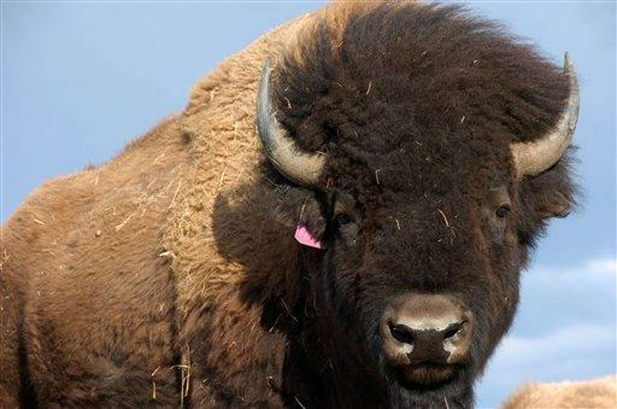 In this photo taken April 24,2012 on the Fort Peck Reservation near Polar Montana showing a heard of Bison. Western lawmakers are seeking to elevate the plains bison to a status similar to that of the iconic bald eagle with legislation to declare the burly animal America's 'national mammal.' Bison advocates launched a 'vote bison' public relations campaign Friday to coincide with the bill. (AP Photo/Matthew Brown)