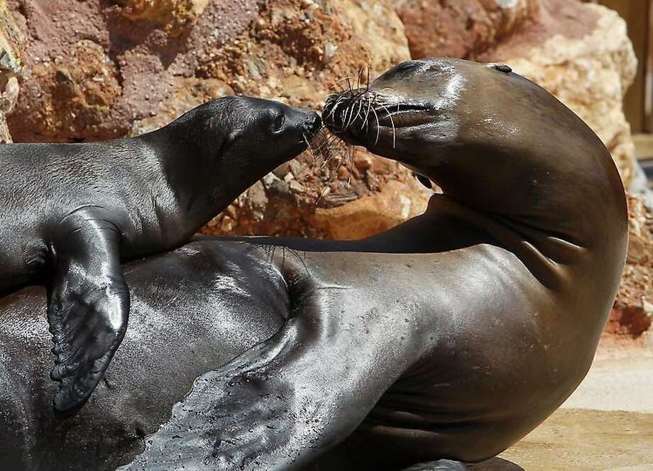 A two month-old California sea lion pup plays with its mother at the Attica Zoological Park in Spata, near Athens, Monday, July 23, 2012. (AP Photo/Thanassis Stavrakis) Photo: ASSOCIATED PRESS / AP2012