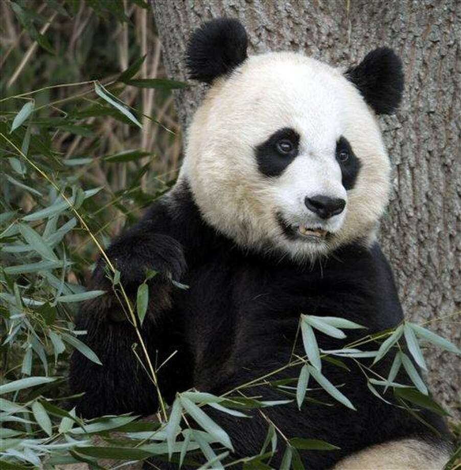 In this 2011 file photo, Mei Xiang, the female giant panda at the Smithsonian's National Zoo in Washington, eats breakfast. Associated Press Photo: ASSOCIATED PRESS / AP2011