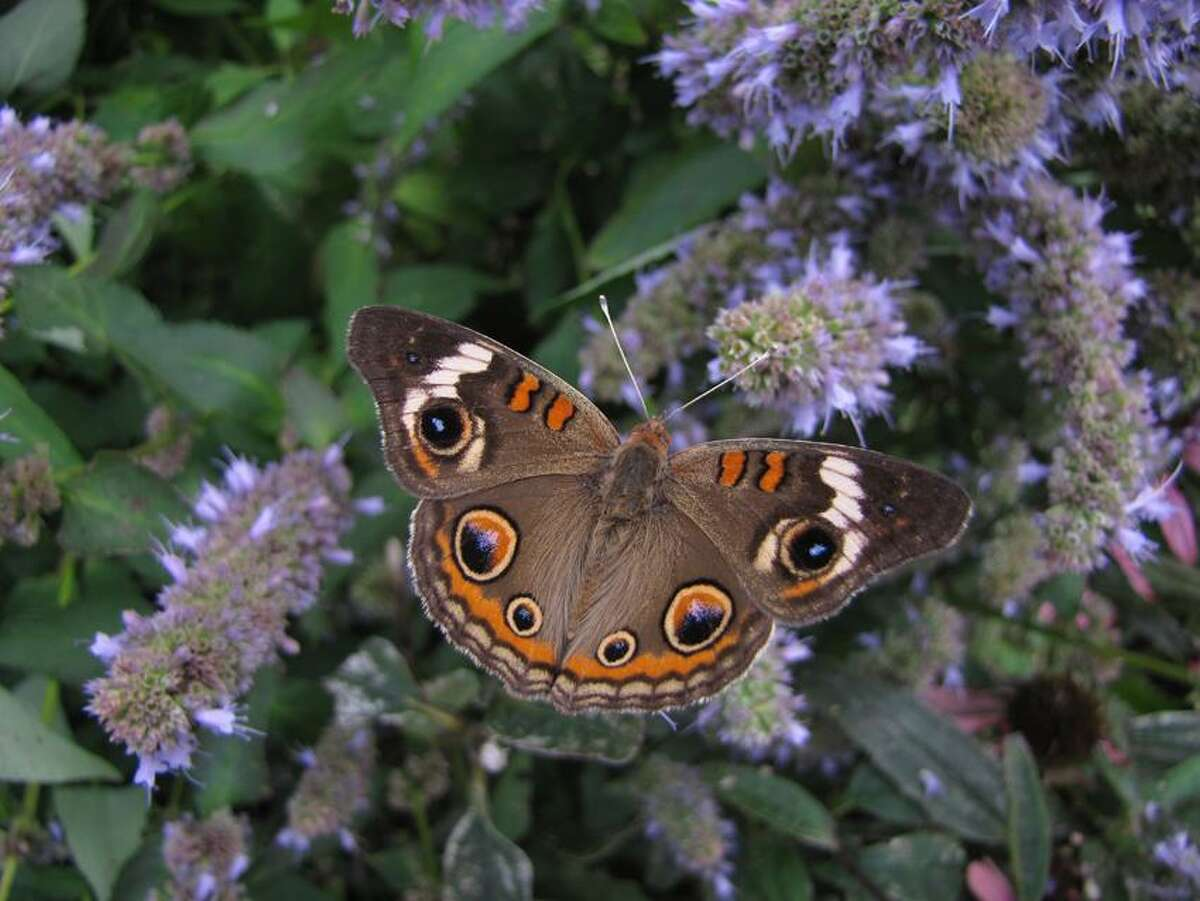 Contributed: A buckeye butterfly enjoys the butterfly garden at Lighthouse Point Park.
