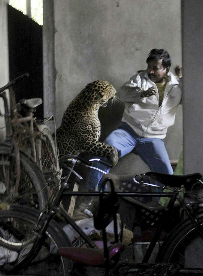 In this photo taken Saturday, a wild full grown leopard attacks a man after wandering into a residential neighborhood in Gauhati, in the northern state of Assam, India. Later the leopard was tranquilized by wildlife official and taken to the state zoological park. The leopard ventured into a crowded area and injured four people before it was captured and caged, local reports said. Associated Press Photo: ASSOCIATED PRESS / AP2012