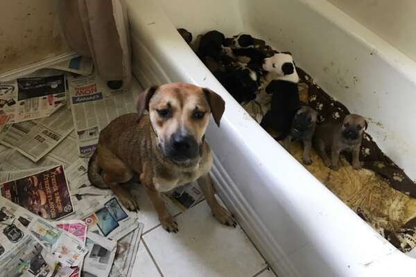 The Humane Society of North Texas and Keller Animal Control officers seized 27 dogs and 84 cats from a home in the 300 block of Anita Avenue in Keller, Texas on July 25, 2017.