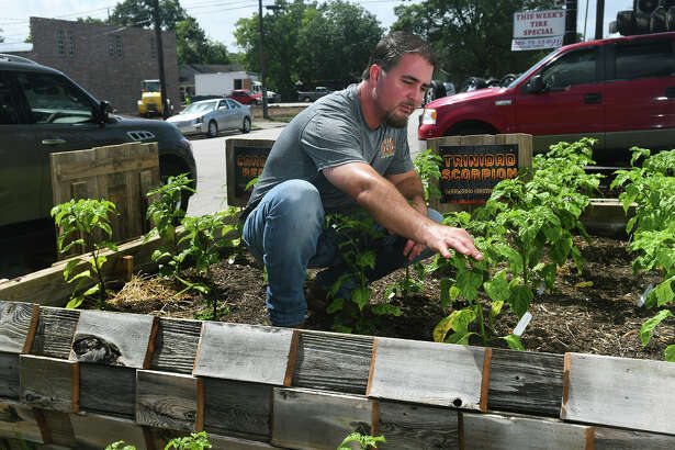 Owner Shane Nobles harvests his hot pepper garden at Pain Train Salsa. Nobles and his wife Bianca started the business at the Tomball Farmer's Market three years ago. (Photo by Jerry Baker/Freelance)