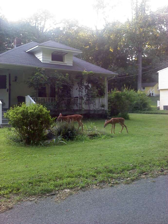 This pair of fawn twins make themseleves at home in an Orange yard