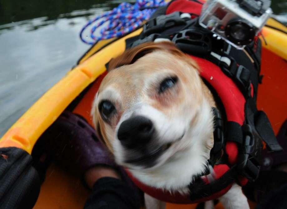 Moe in a doggie life jacket, ready for the big dip. Melanie Stengel/Register