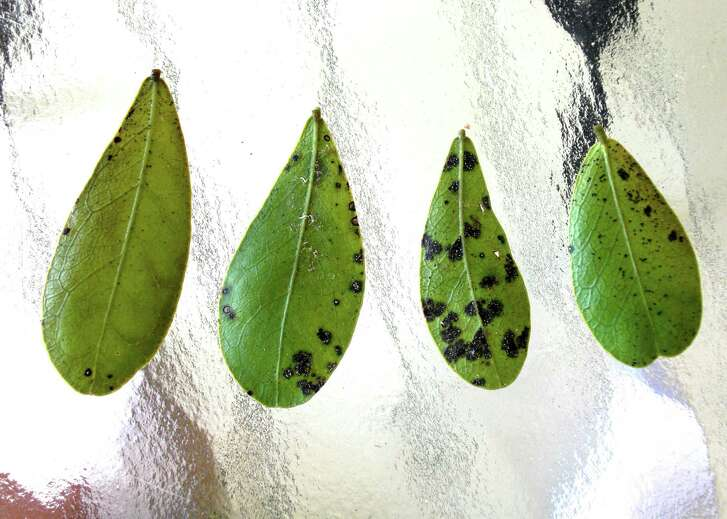 These spots on mountain laurel leaves are not from insects. Neil Sperry suggests spraying with a fungicide labeled for use on a wide range of shrub leaf spots.