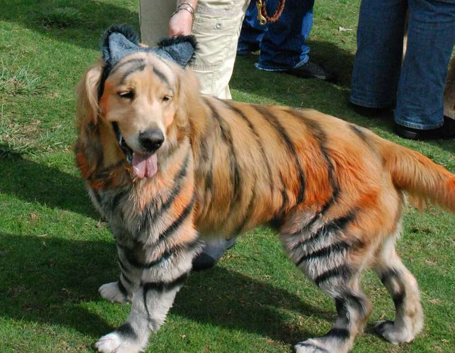 Sue Subkow photo: Andrea Roth's golden retriever, Bronzon, in the winning tiger costume at the San Diego Golden Retriever Meetup Group's Halloween Pooch Party. Photo: AP / AP2010