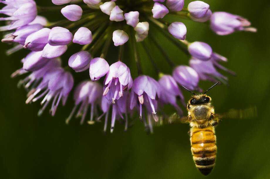 A honey bee collects pollen from a blue thimble flower, also known as a globe gilia, at Dow Gardens on Wednesday, July 26, 2017. Photo: (Katy Kildee/kkildee@mdn.net)