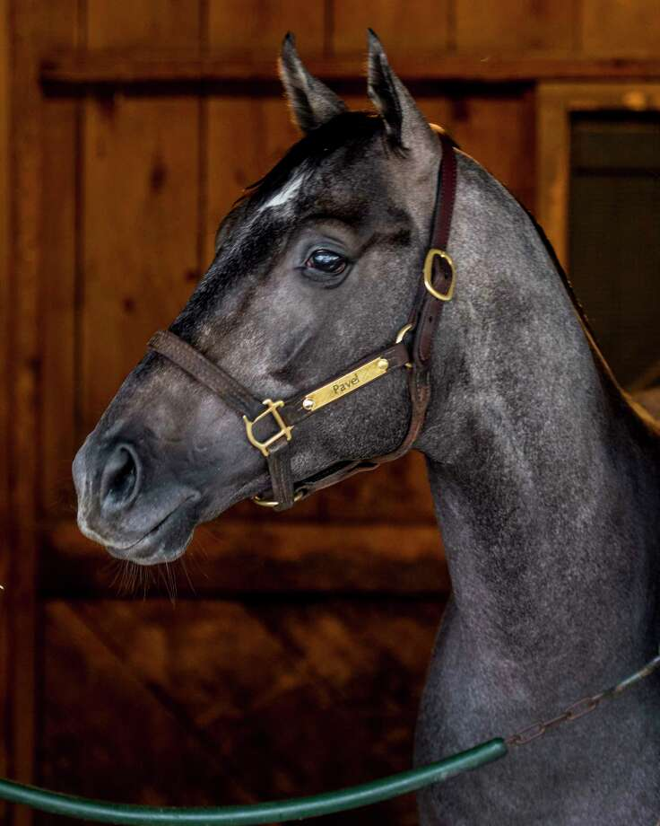 Jim Dandy entrant Pavel stands in his stall at the Mott Training stable on the Oklahoma Training Center across the street from the Saratoga Race Course Thursday July 27, 2017 in Saratoga Springs, N.Y. (Skip Dickstein/Times Union) Photo: SKIP DICKSTEIN