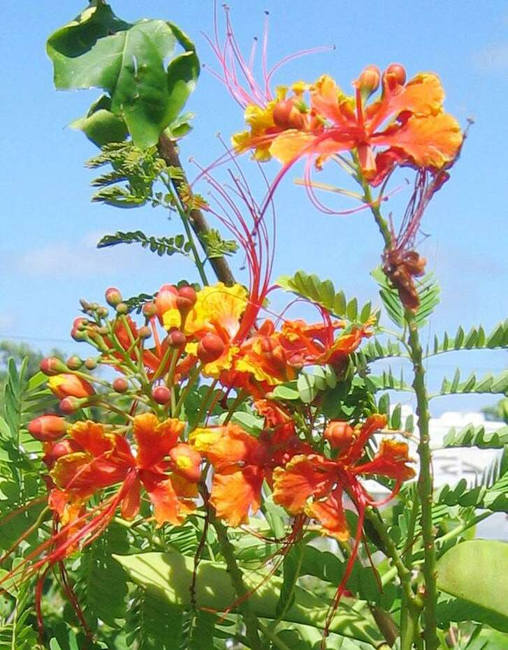 Poinciana, also known as pride of Barbados, is easily the showiest of the plants blooming in San Antonio-area gardens right now.