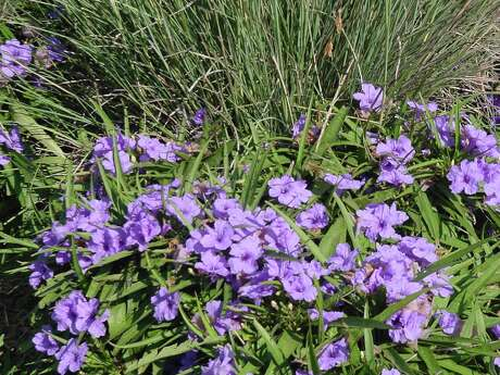 Dwarf Mexican petunias (Ruellia brittoniana 'Katie') will bloom all summer.