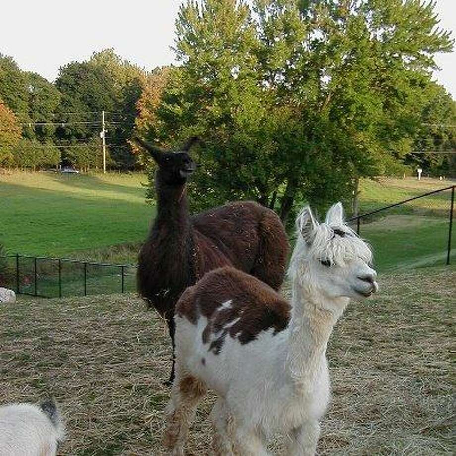A photo of the llamas and goats' pen posted on the Bishops Orchards Farm Market Facebook page.