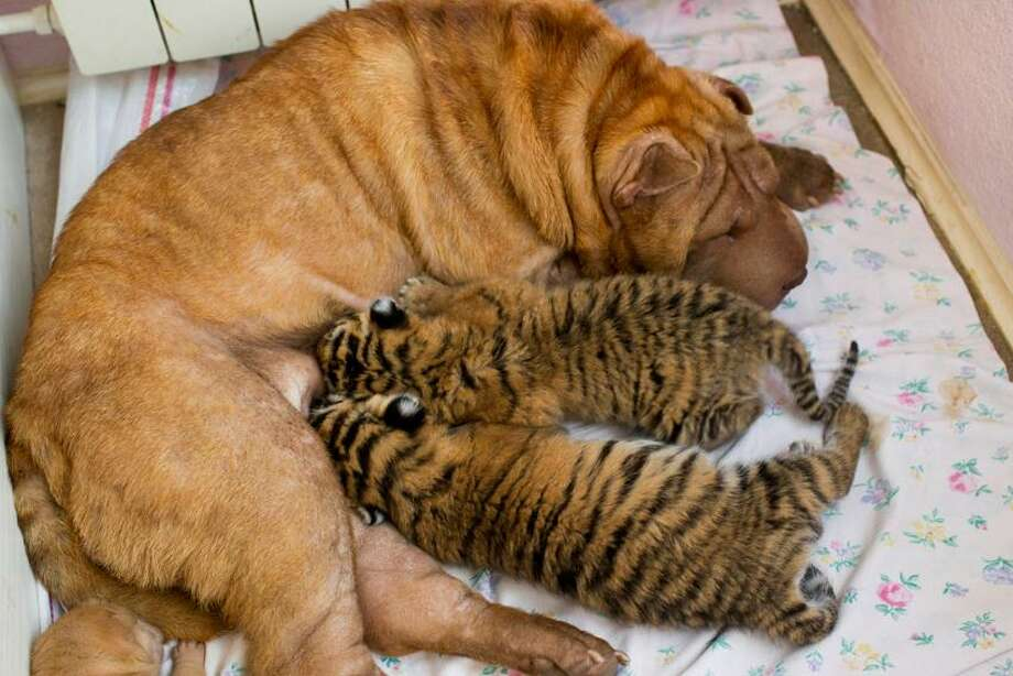 In this picture taken, Monday, June 4, 2012, Shar-Pei dog Cleopatra feeds two baby tigers in the Black Sea resort of Sochi, southern Russia. Two baby tigers whose mother refused to feed them found an unusual wet nurse, a wrinkled, sand-colored Shar-Pei dog named Cleopatra. The cubs were born in late May in a zoo at the October health resort in Sochi.  Associated Press Photo: AP / AP2012