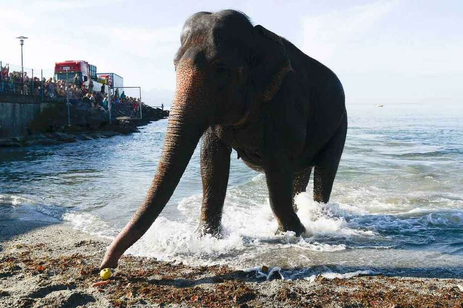 An elephant from the Swiss national circus Knie reaches out for an apple after taking a bath in the lake of Geneva at the Bellerive beach near Lausanne, Switzerland, Tuesday, Oct. 2, 2012. (AP Photo/Keystone, Jean-Christophe Bott) Photo: ASSOCIATED PRESS / AP2012