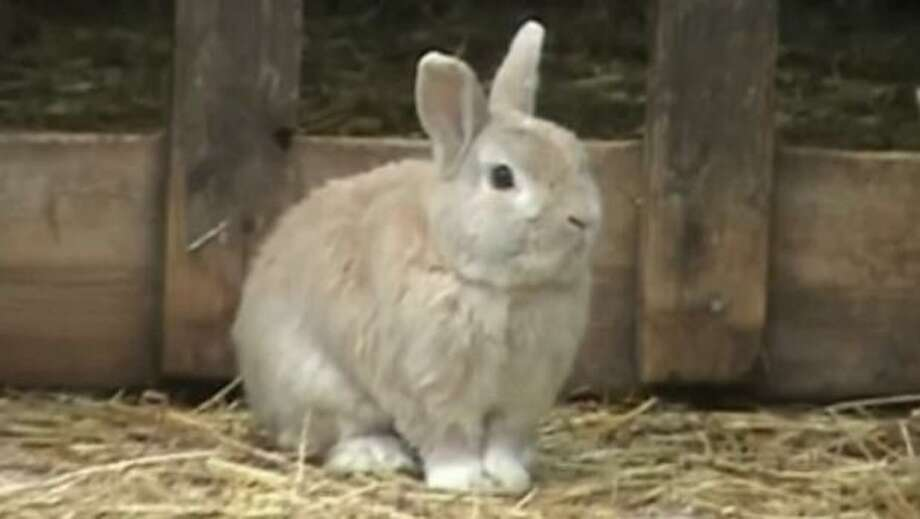 Champis, the sheep herding bunny, watches the sheep on the farm (YouTube)