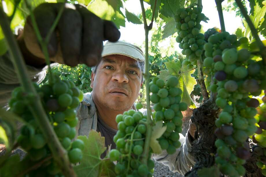 Juan Espinoza, 56, from Mexico City, works as an H-2A employee for Seghesio Family Vineyards at Chen's Vineyard in Healdsburg. Photo: Erik Castro, Special To The Chronicle
