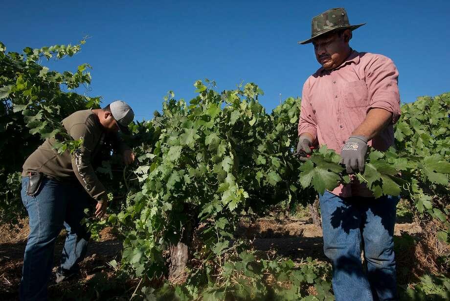 Edilberto Rico Álvarez (left), 44, and his son, Enrique Rico Juarez, 21, both from Michoacan, Mexico, are H-2A employees for Seghesio Family Vineyards. Photo: Erik Castro, Special To The Chronicle
