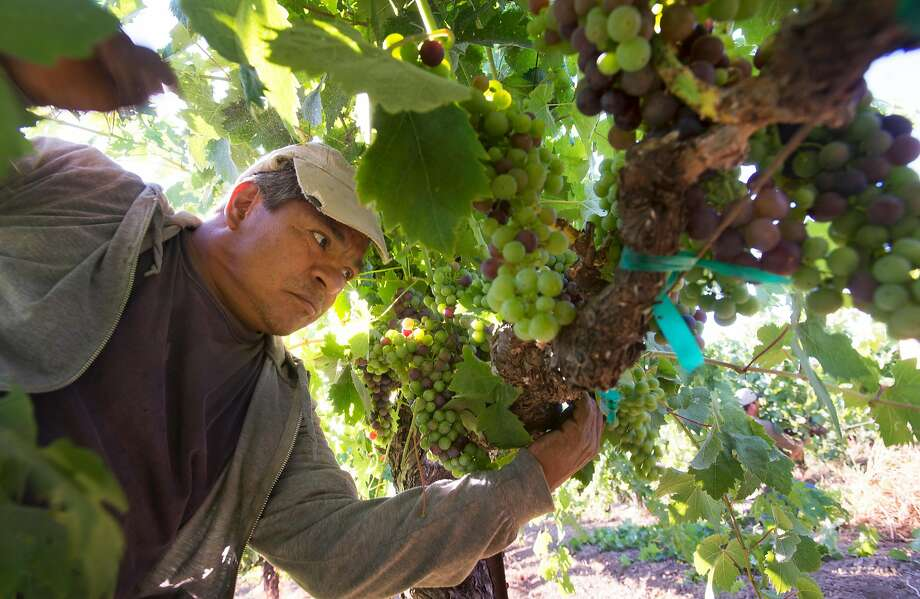 Juan Espinoza, from Mexico City, is on an H-2A visa as an employee of Seghesio Family Vineyards. Photo: Erik Castro, Special To The Chronicle