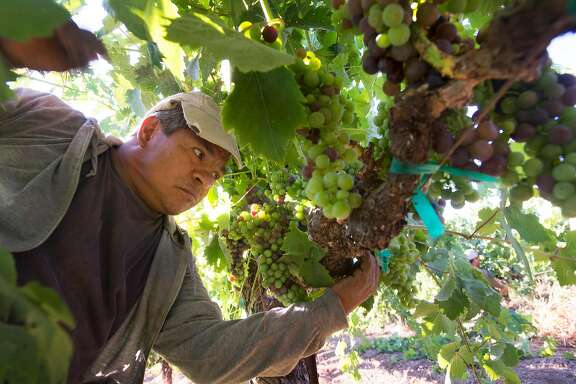 H2A employee for Seghesio Family Vineyards Juan Espinoza, 56, from Mexico City working at Chen's Vineyard Thursday morning in Healdsburg, California. July 27, 2017.