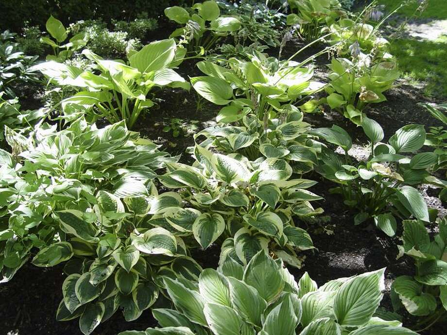 Maureen Gilmer/SHNS photos: A variety of plants do just fine in shade.