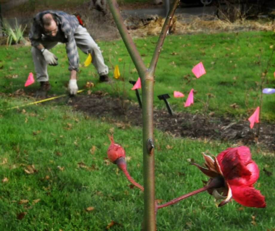 Matthew Naab, horticultural supervisor at Pardee Rose Garden at 180 Park Road in Hamden, widens a bed. Some roses are still budding and blooming due to the unseasonably warm weather. (Melanie Stengel/Register)