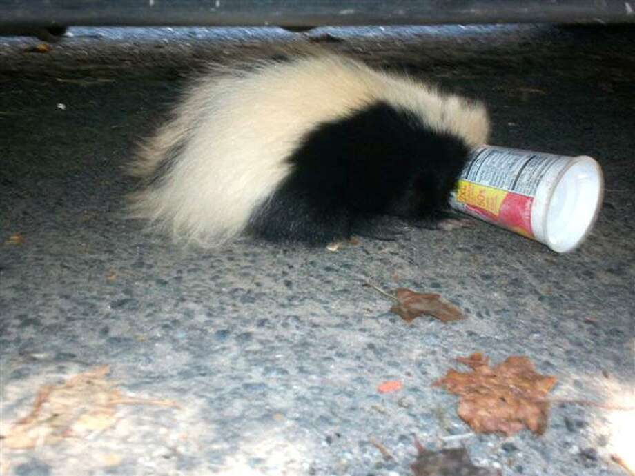 This photo shows a skunk in Shelton that got its face caught in a Yoplait yogurt container.