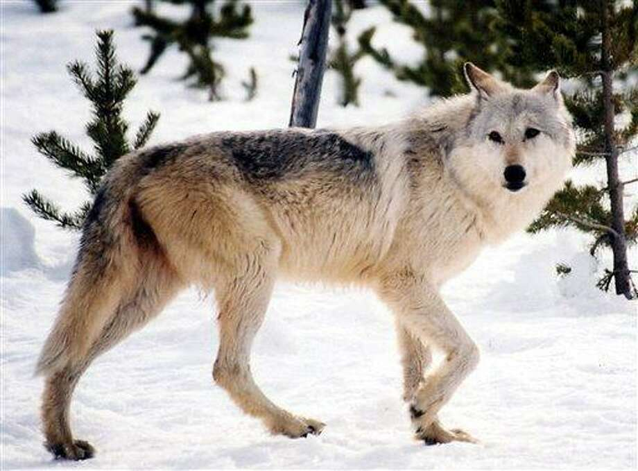 This image provided by Yellowstone National Park, Mont., shows a gray wolf in the wild. Hunters will be able to shoot as many as 220 gray wolves in Montana this fall under rules adopted Thursday July 14, 2011 by state wildlife commissioners. (AP Photo/National Park Service, MacNeil Lyons) Photo: AP / Yellowstone National Park