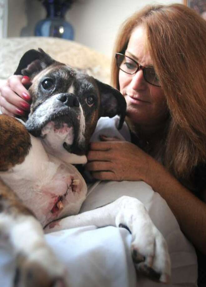 Michelle Masella of East Haven with her 11-year-old boxer, Bailey. The dog was stabbed three times while walking in the park next door to Masella's house. Melanie Stengel/Register