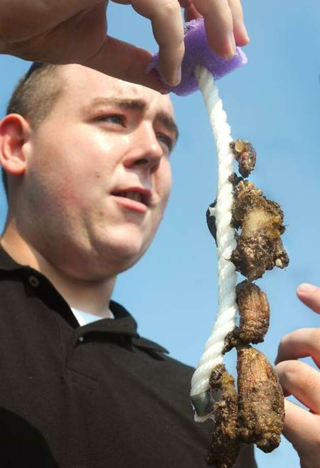 UNH senior Nicholas Brunetti holds up a bunch of sea squirts pulled from New Haven Harbor. They are an invasive species causing problems in the Long island Sound. Melanie Stengel/Register