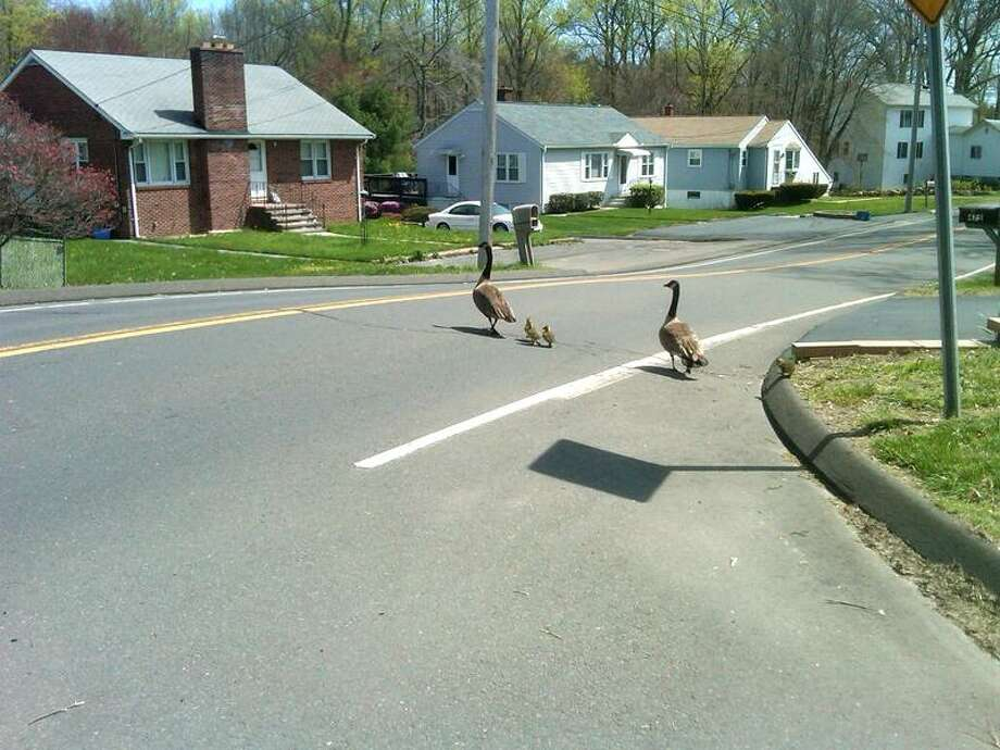 "WONDER WHO THE GUY WAS: ""Hi, my name is Stephanie Lendroth. I took a picture of geese crossing Silver Sands Road in East Haven, and a man driving by told me if I emailed them to the Register, he would put it in the paper."""